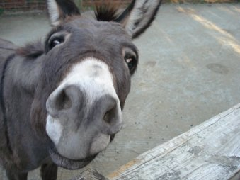 donkey-with-funny-face-expressions