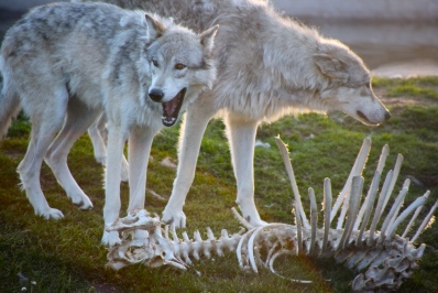 Wolves_and_bones