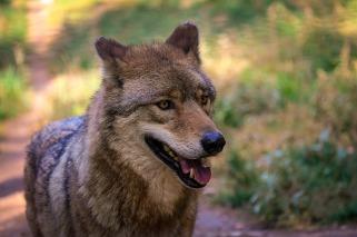 wolf-974056_960_720
