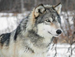 wolf sniper