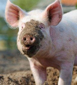 muddy-pig