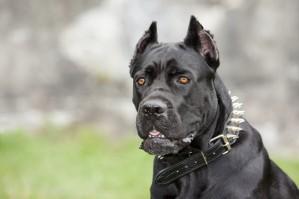 Cane Corso Dog 3